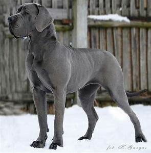 Blue European Great Dane | Great Danes | Pinterest | Great ...