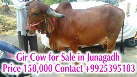 Cowhide Price by Gir Cow For Sale In Junagadh Price 150 000 Contact