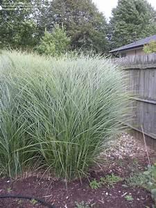 PlantFiles Pictures: Eulalia, Maiden Grass, Zebra Grass ...