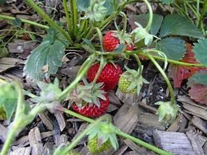 Erdbeeren Wann Pflanzen : wann pflanzt man erdbeeren erdbeeren pflanzen die wichtigsten tipps ananas erdbeere wann ~ Watch28wear.com Haus und Dekorationen