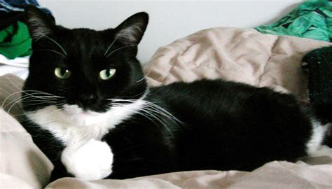 tuxedo cat your best friend can also be a kitty