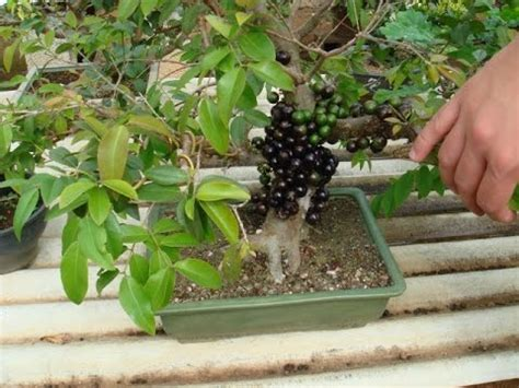 miniature fruit trees jaboticaba bonsai trees