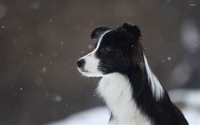 Collie Border Wallpapers Snowfall Backgrounds 1920