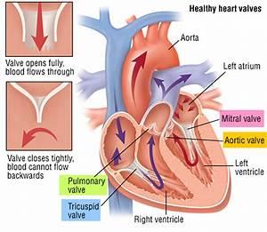 Echocardiogram  Transesophageal  Transthoracic  Stress