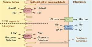 Glucose Reabsorption From The Proximal Tubule  The