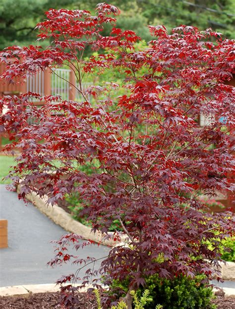 japanese maple species bloodgood japanese maple trees for small yards