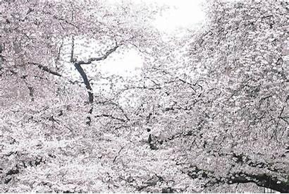 Cherry Blossom Gifs Festival Chilled Seattle Cherryblossom