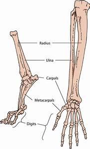 Dog Vs Horse Skeleton