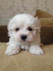 bichon maltese mix puppies www pixshark images galleries with a bite