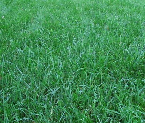 fescue sod top 28 fescue sod grass alternatives keep off the grass bob vila tall fescue sod shan gri