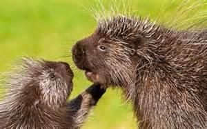 North American Porcupine Baby
