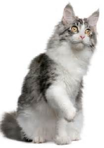 forest cat personality the forest cat cat breeds encyclopedia