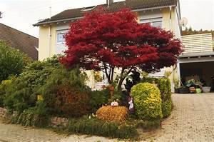 Roter Ahorn Baum : roter ahorn gartenfreuden in baden baden ~ Michelbontemps.com Haus und Dekorationen