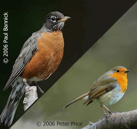 How The Robin Got Its Name Birdnote