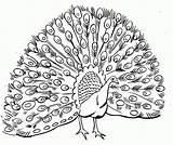 Coloring Peacock Pages Adults Cool Popular Difficult sketch template