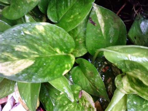 garden care simplified  money plant rules  feng shui