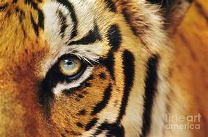 Bengal Tiger Face Photograph by Frans Lanting MINT Images