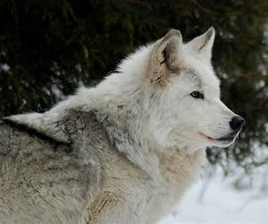 Wolf Profile Photograph by Richard Bryce and Family