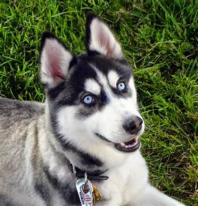 What Dog Breeds Have Blue Eyes? - LUV My dogs