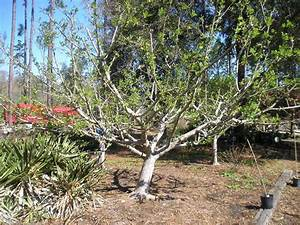 Pruning Fruit Trees  U2014 Just Fruits And Exotics