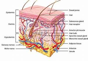 Integumentary System - Bergenology: A Tool for Anatomy and ...