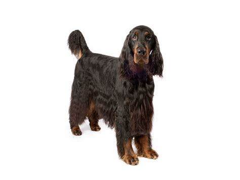 5 Things You Didn't Know About The Gordon Setter