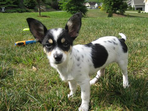 chion chihuahua  papillon mix pictures  information