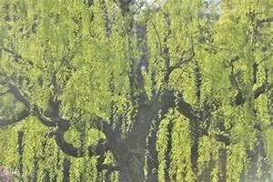 Kleiner Baum Mit Breiter Krone : b ume mit h ngenden kronen mein sch ner garten ~ Michelbontemps.com Haus und Dekorationen