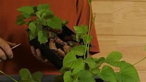 Patate Douce Plante : 3 m thodes pour r ussir vos plants de patate douce mon ~ Dode.kayakingforconservation.com Idées de Décoration