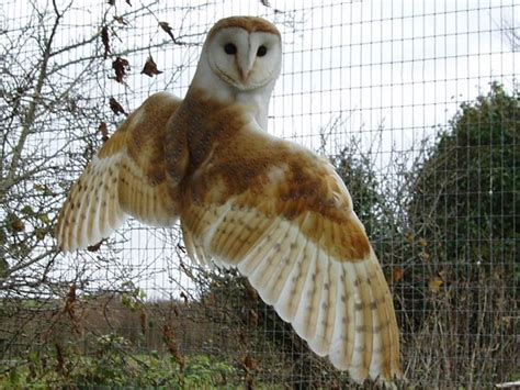 Barn Owl, Wings Spread From Behind