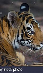 Adult male Bengal Tiger at Ranthambhore, forest, India ...