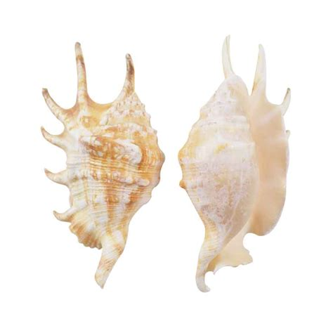 spider conch real sea shells beach theme party decorations