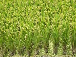 Rice Fields Plants