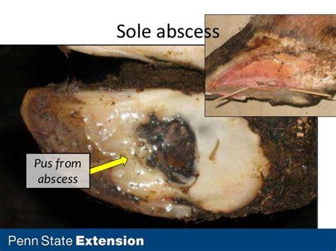 hoof cattle dairy leg lameness issues part abscess sole ulcer