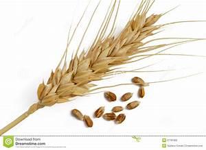 Wheat Grain And Ear Stock Photo  Image Of Closeups  Food