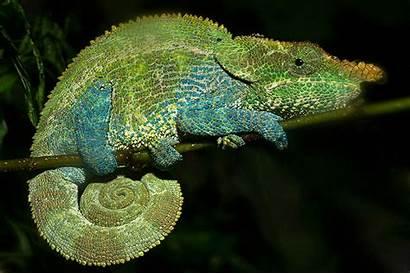 Chameleon Changing Horned Lizards Colors Animated Chameleons