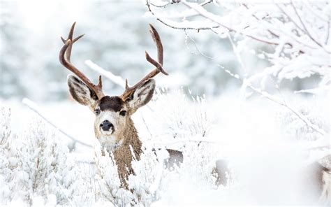 Animals In Snow Wallpaper - wallpaper deer winter snow animals most popular 5856