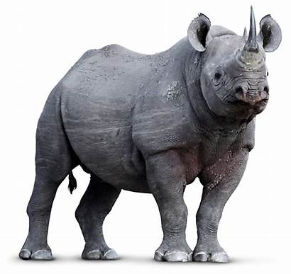 Rhinoceros Rhino Animals Endangered Rhinoceroses Dk Background