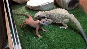 New Red Bearded dragon - YouTube