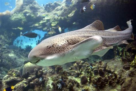 zebra shark  australia shark facts  information