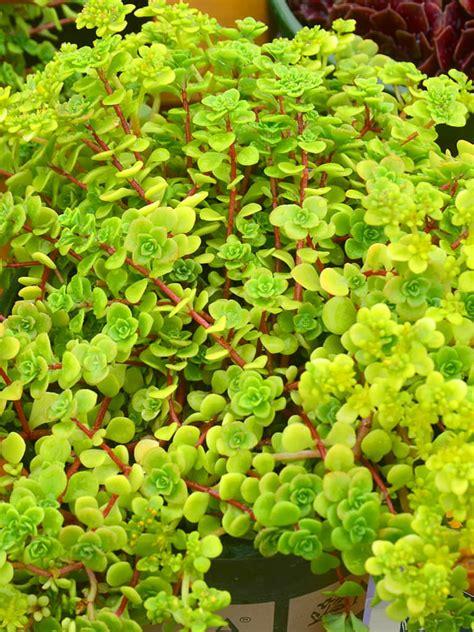 sedum succulent sedum makinoi limelight japanese stonecrop world of succulents