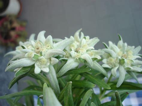 012 stele alpine ,floarea reginei, floare de colt | ioan BIrsan | Flickr