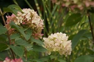 Hydrangea Paniculata Schneiden : hortensien schneiden anleitung f r fr hjahr und herbst ~ Lizthompson.info Haus und Dekorationen