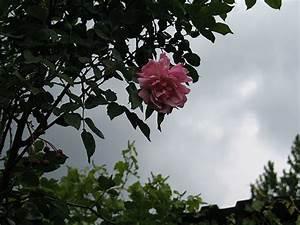 Wolken In Rose : endlich regen und erste rosen ~ Orissabook.com Haus und Dekorationen