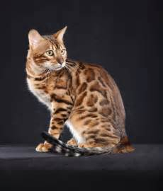 show me images of cats international cat show will feature more than 200 breeds