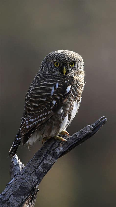 hd cute owl wallpaper  android pixelstalknet