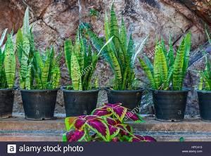 Pflanze Mit S : sansevieria sansevieria stockfotos sansevieria sansevieria bilder alamy ~ Orissabook.com Haus und Dekorationen