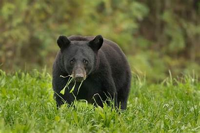Bear Louisiana Wildlife Bears National Pam Teddy