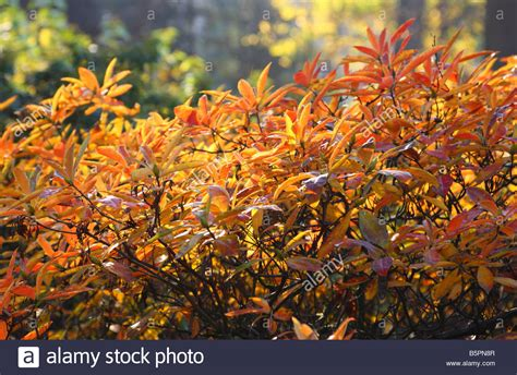 rhododendron leaves turning yellow rhododendron leaves turning yellow and red in autumn stock photo royalty free image 20783303
