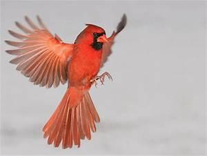 Red Cardinal Wallpaper | Cardinal in Flight 2 - red ...